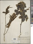 view Rhynchosia clivorum digital asset number 1