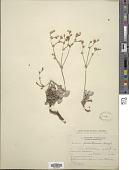view Eriogonum niverum Douglas ex Benth. digital asset number 1