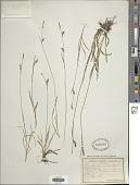 view Carex panicea L. digital asset number 1