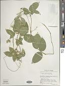 view Centrosema pubescens Benth. digital asset number 1