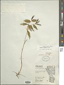 view Uvularia sessilifolia L. digital asset number 1