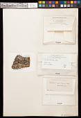 view Calicium quercinum Pers. digital asset number 1