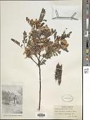view Sesbania punicea (Desv.) Benth. digital asset number 1