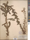view Verbascum blattaria L. digital asset number 1