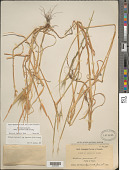 view Hordeum murinum subsp. leporinum (Link) Arcang. digital asset number 1