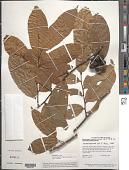 view Unonopsis guatterioides (A. DC.) R.E. Fr. digital asset number 1