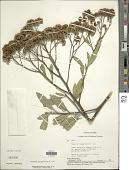 view Tessaria integrifolia Ruiz & Pav. digital asset number 1