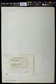 view Ocellularia sp. digital asset number 1