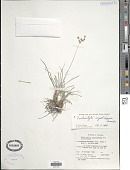 view Fimbristylis nigrobrunnea Thwaites digital asset number 1
