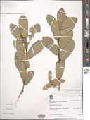 view Quercus glaucoides M. Martens & Galeotti digital asset number 1