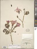 view Ipomoea carnea subsp. fistulosa (Mart. ex Choisy) D.F. Austin digital asset number 1