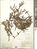 view Vachellia collinsii (Saff.) Seigler & Ebinger digital asset number 1