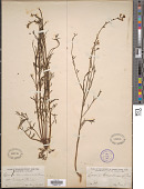 view Linaria canadensis (L.) Dum. Cours. digital asset number 1