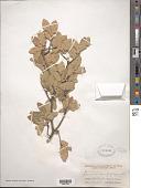 view Quercus grisea Liebm. digital asset number 1
