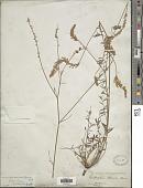 view Onobrychis armena Boiss. & A. Huet digital asset number 1