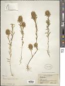 view Evolvulus alopecuroides Mart. digital asset number 1