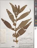 view Leucocarpus perfoliatus (Kunth) Benth. digital asset number 1