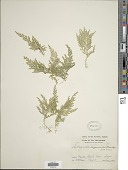 view Selaginella myosuroides (Kaulf.) Spring digital asset number 1