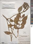 view Phoradendron chrysocladon A. Gray digital asset number 1