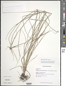 view Rhynchospora nervosa subsp. ciliata (G. Mey.) T. Koyama digital asset number 1