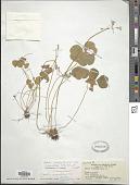 view Oxalis debilis var. corymbosa (DC.) Lourteig digital asset number 1