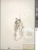 view Callitriche heterophylla Pursh emend. Darby digital asset number 1