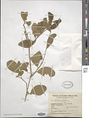 view Petiveria alliacea L. digital asset number 1