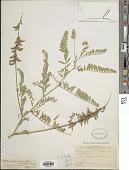 view Astragalus falcatus Lam. digital asset number 1