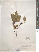 view Amelanchier bartramiana (Tausch) M. Roem. digital asset number 1