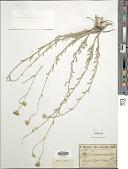 view Achillea membranacea (Labill.) DC. digital asset number 1