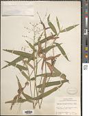 view Dichanthelium ravenelii (Scribn. & Merr.) Gould digital asset number 1