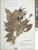 view Taralea nudipes (Tul.) Ducke digital asset number 1