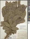 view Aglaia spectabilis (Miq.) S.S. Jain & Bennet digital asset number 1