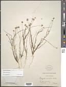 view Polygala variabilis Kunth digital asset number 1