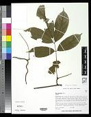 view Derris montana Benth. digital asset number 1
