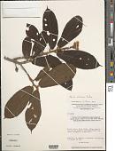 view Apeiba albiflora Ducke digital asset number 1