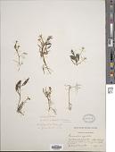 view Ranunculus trichophyllus var. hispidulus (Drew) Drew digital asset number 1