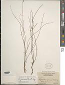 view Phyllanthus junceus Müll. Arg. digital asset number 1
