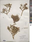 view Phoradendron bolleanum var. capitellanum (Torr. ex Trel.) Kearney & Peebles digital asset number 1