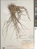 view Eragrostis sessilispica Buckley digital asset number 1