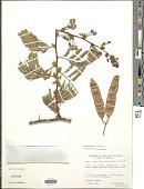 view Senegalia tamarindifolia (L.) Britton & Rose digital asset number 1
