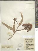 view Corymbia polycarpa (F. Muell.) K.D. Hill & L.A.S. Johnson digital asset number 1