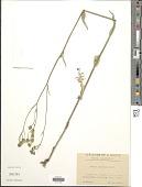 view Crepis nicaeensis Balb. digital asset number 1
