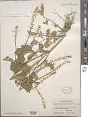 view Barbarea vulgaris var. arcuata digital asset number 1