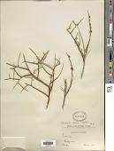 view Psorothamnus arborescens (Torr. & A. Gray) Barneby digital asset number 1