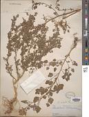 view Chenopodium opulifolium Schrad. ex W.D.J. Koch & Ziz digital asset number 1