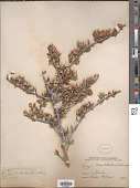 view Purshia tridentata (Pursh) DC. digital asset number 1