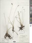 view Fimbristylis ferruginea (L.) Vahl digital asset number 1
