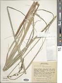 view Carex brasiliensis A. St.-Hil. digital asset number 1