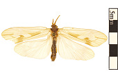 view Northern Caddisfly digital asset number 1